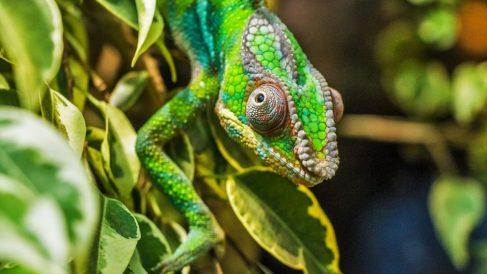 Conoce todos los misterios del camaleón al descubierto
