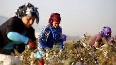 Plantación de algodón en Turquía. (Foto: Getty images)