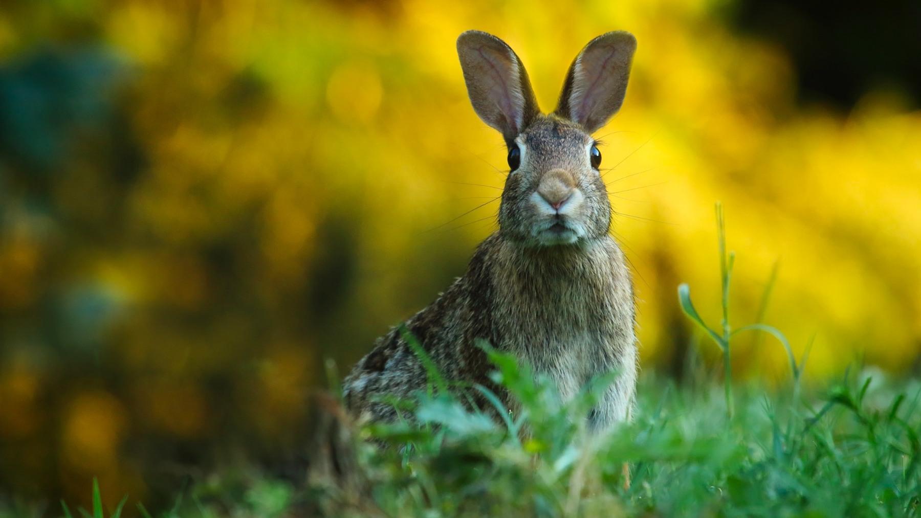 Diferencias entre conejo y liebre
