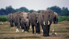 Un cazador sudafricano muere tras ser aplastado por un elefante.