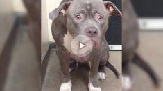 Electra es un pit bull de cuatro años que fue abandonado en un albergue en California.