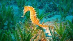 El caballito de mar, un animal de muchas rarezas.