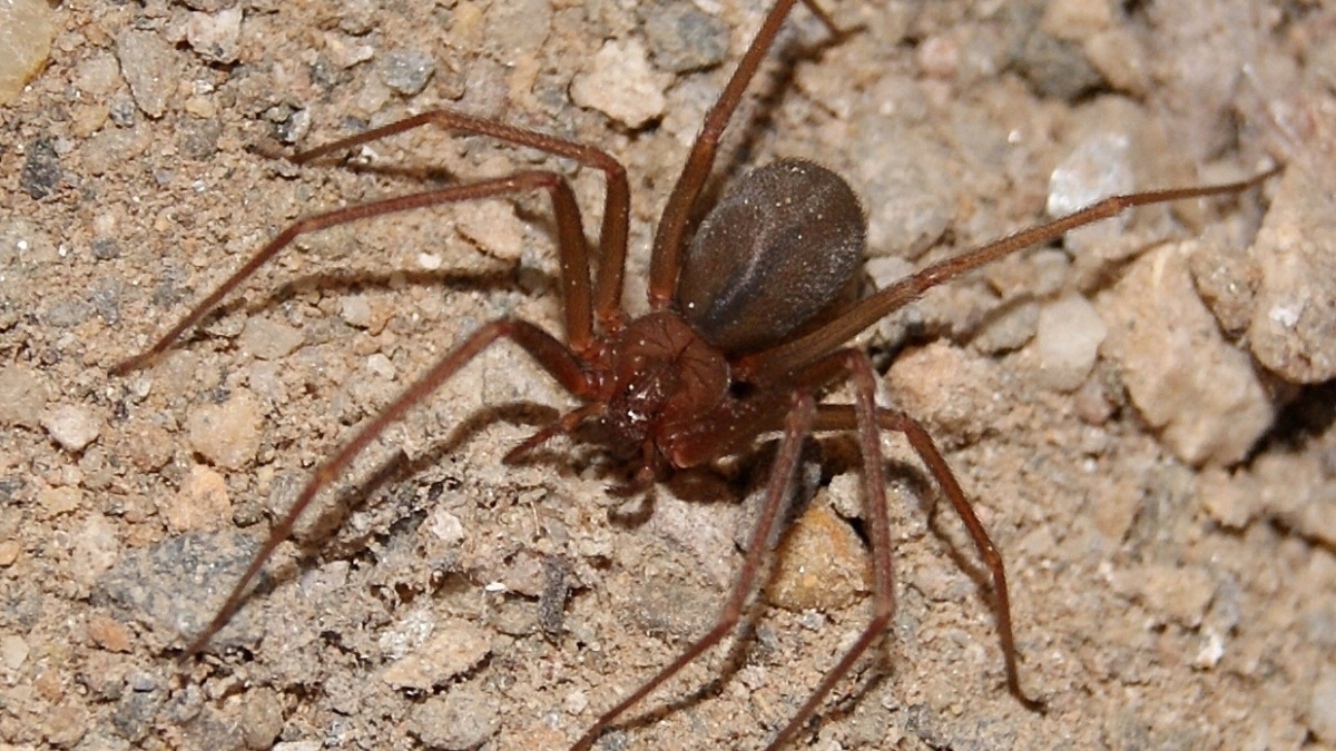 Esta araña es una de las más peligrosas