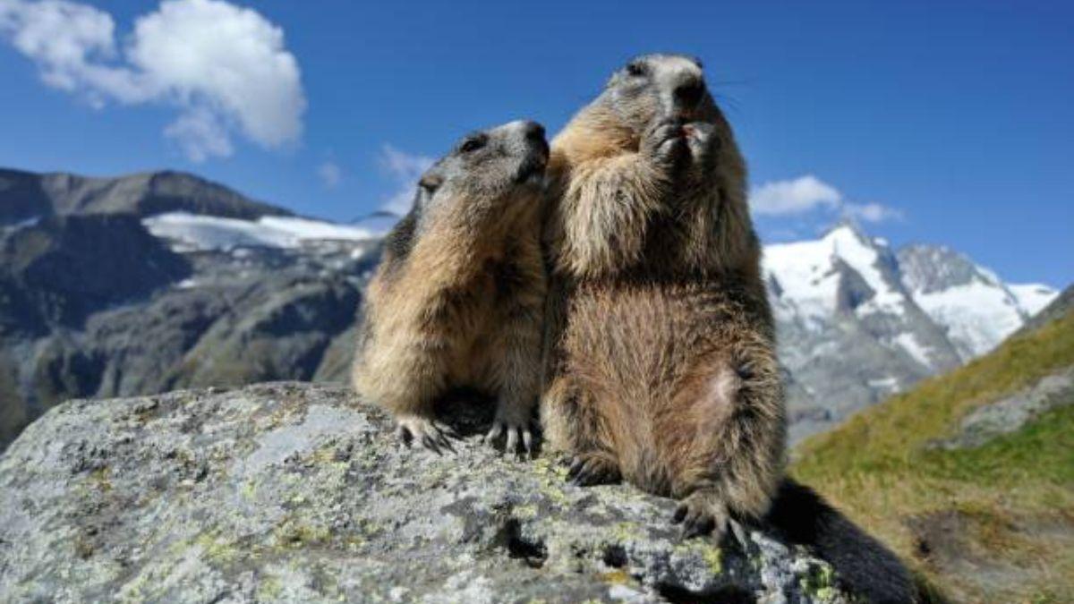 Descubre las principales curiosidades sobre las marmotas