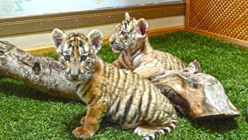 Las dos crias de tigre de Bengala que se suman a la fauna deñl PArque de la Naturaleza de Cabárceno.
