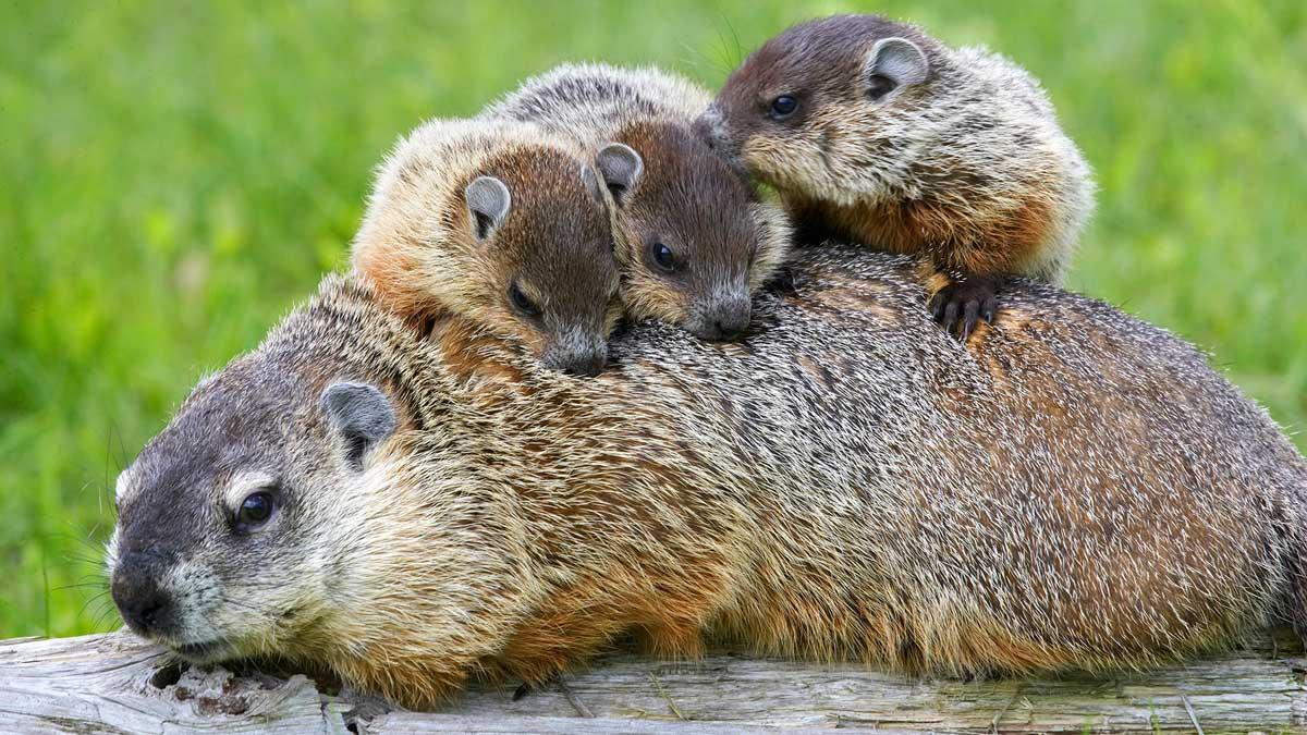 Qué es lo que hacen las marmota