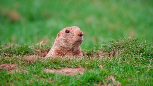 Curiosidades sobre la marmota.