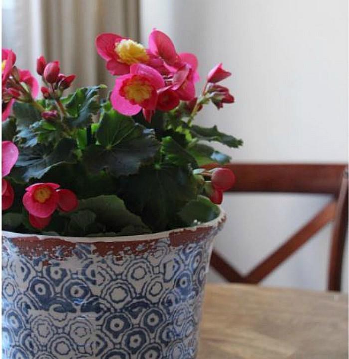 Cómo cuidar una begonia