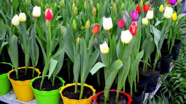 Cultivar tulipanes en macetas