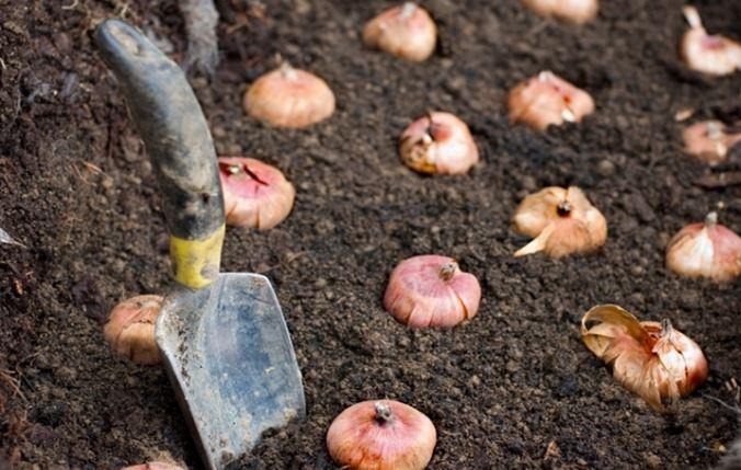 Como plantar tulipanes holandeses en maceta casa dise o Como cultivar peces en casa
