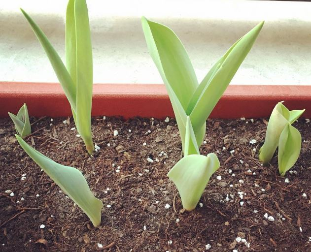 Como plantar tulipanes holandeses en maceta casa dise o - Plantar en maceta ...
