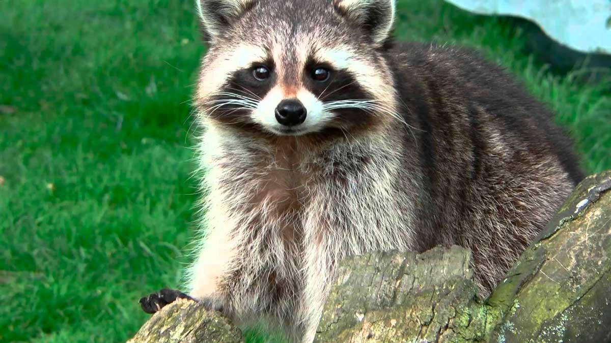 El antifaz del mapache lo identifican como un ladrón