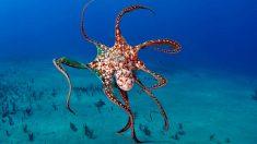 ¿Cuántos tentáculos tiene un pulpo?