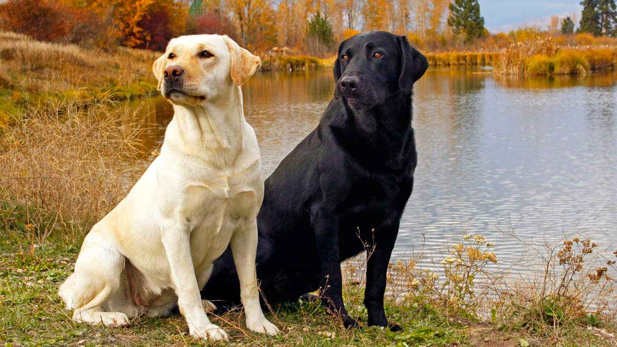 Perro Labrador: Curiosidades Y Cuidados Del Perro Labrador