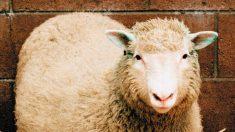 La oveja Dolly supuso un gran paso para la comunidad científica