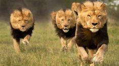 Cuatro leones se han escapado del parque Kruger, en Sudáfrica.