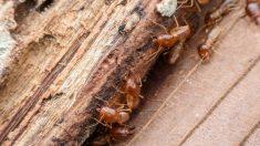 Pasos para eliminar las termitas