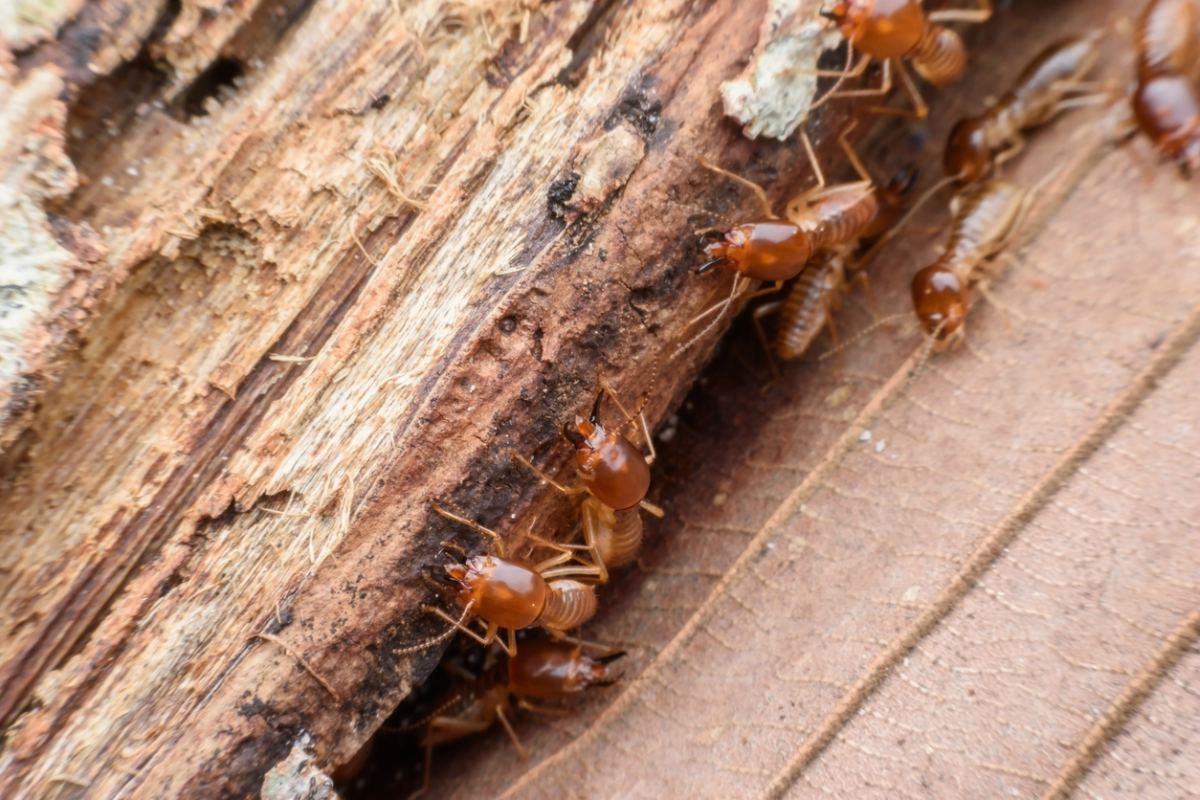 Termitas de la madera seca