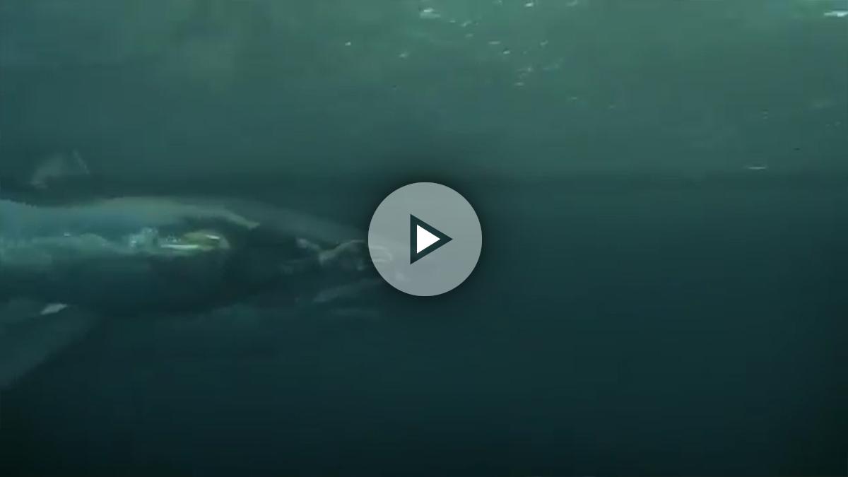 Michael Phelps no pudo con el tiburón blanco en aguas abiertas.