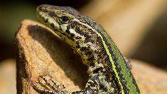 La autotomía es el proceso por el que algunos reptiles pueden regenerar su cola.