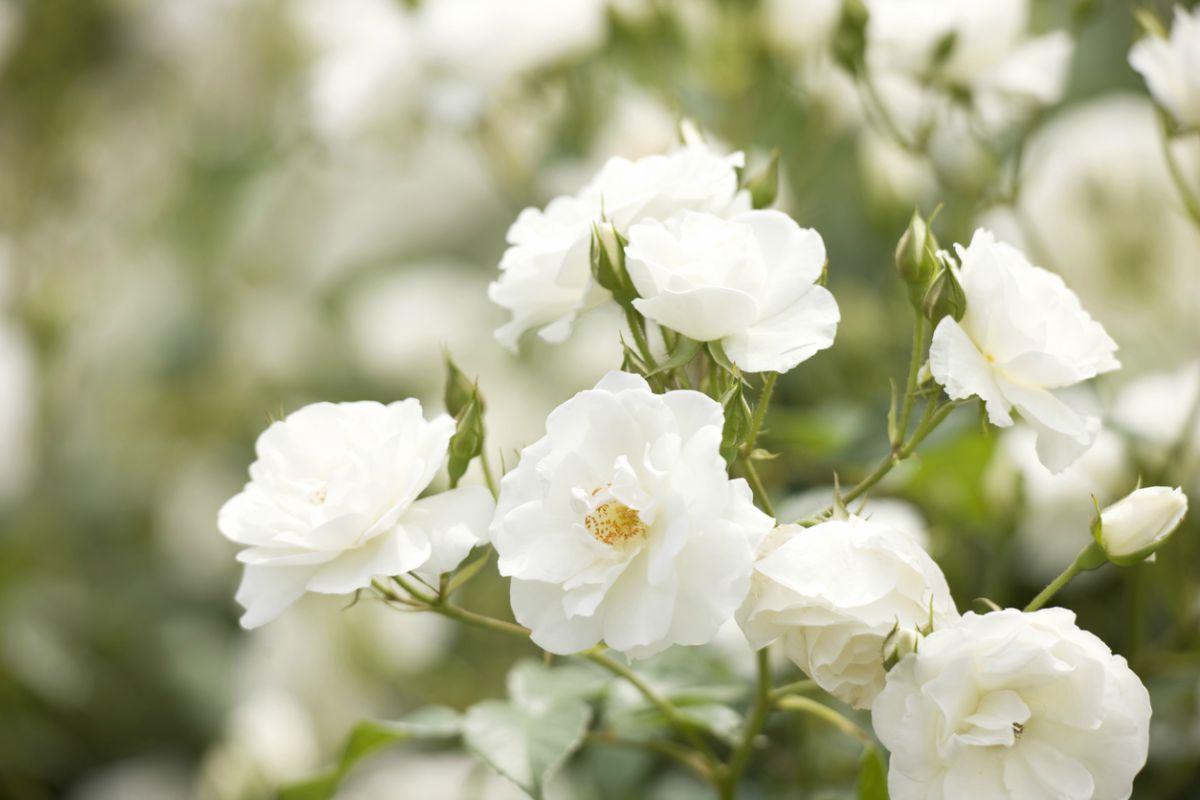Como Cuidar Rosas Blancas En 8 Pasos