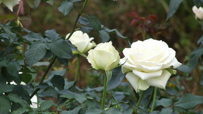 Cómo Cuidar Rosas Blancas En 8 Pasos