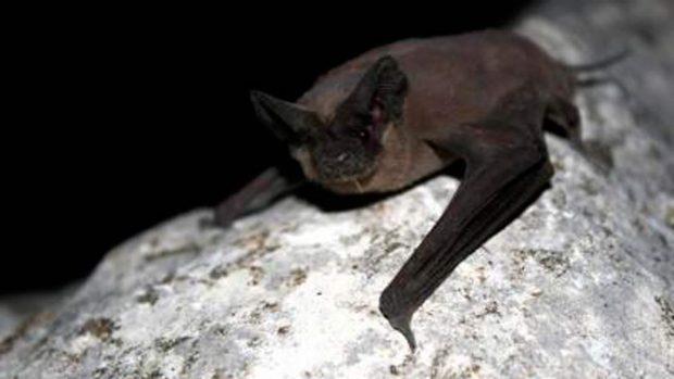 murciélago sin cola de Brasil