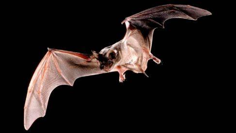 Murciélago sin cola brasileño.