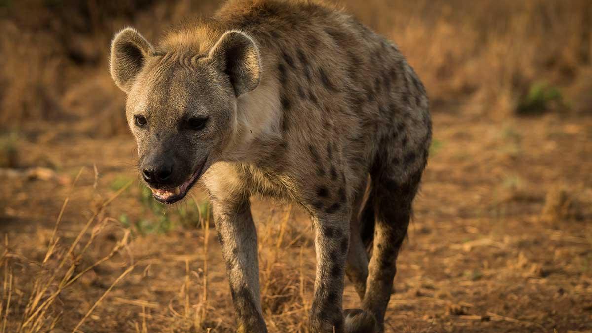Los sonidos risueños, las manchas en la piel y sus extraños ojos se enmarcan como algunos de los rasgos más característicos de las hienas.