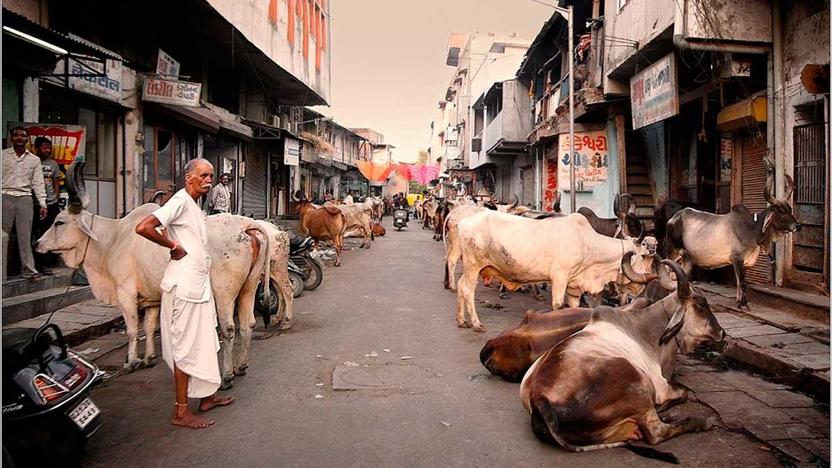 Las vacas son sagradas en India