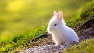 El conejo toy es una raza oriunda de los Países Bajos.