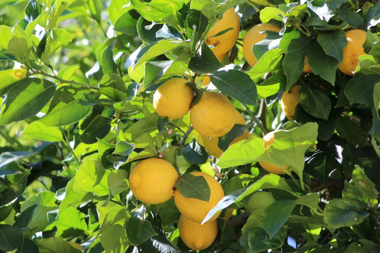 Cómo plantar un limonero