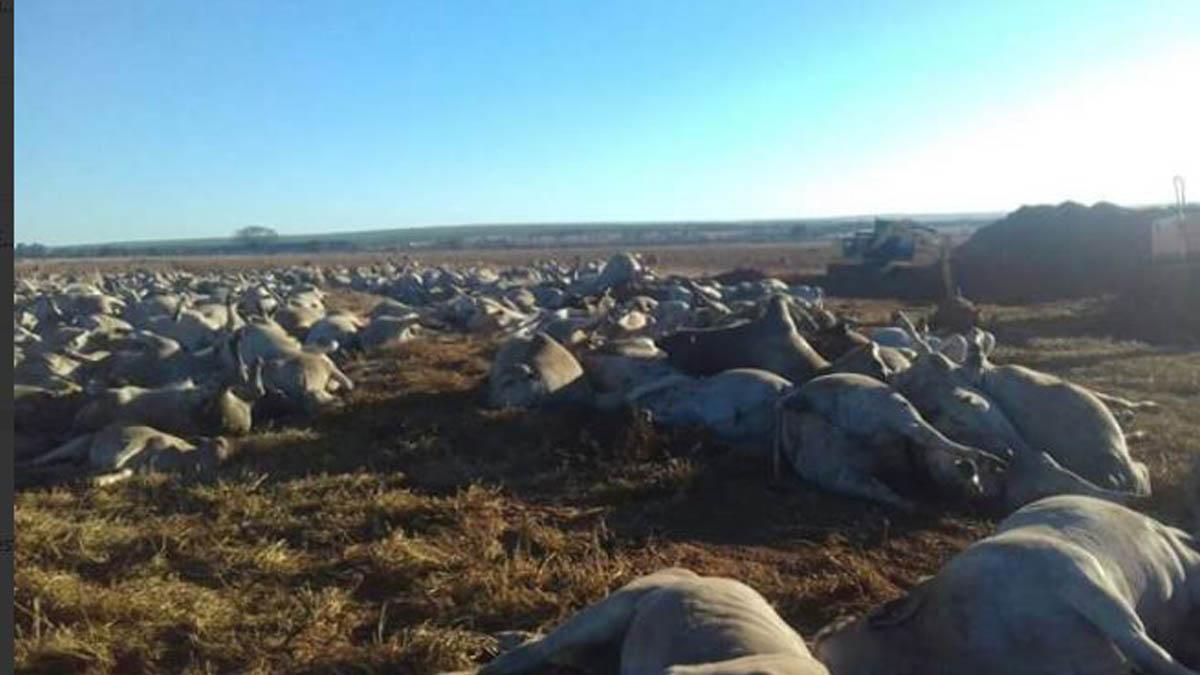 Vacas muertas por botulismo en Brasil.