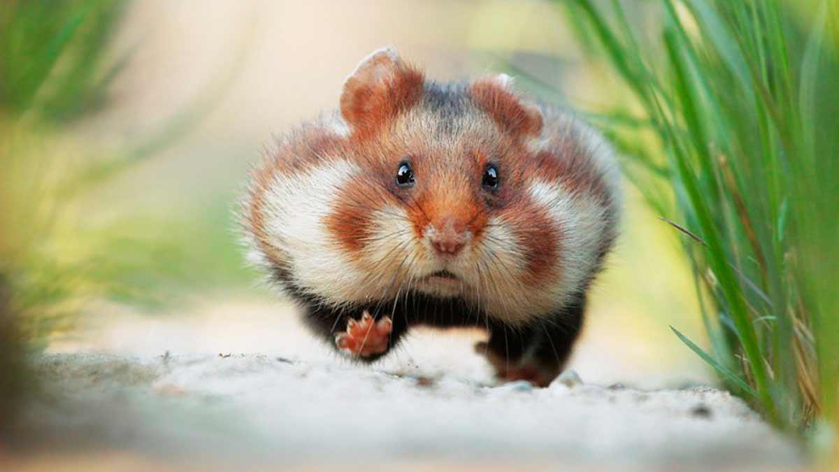 Por Que Los Hamsters Corren En La Rueda