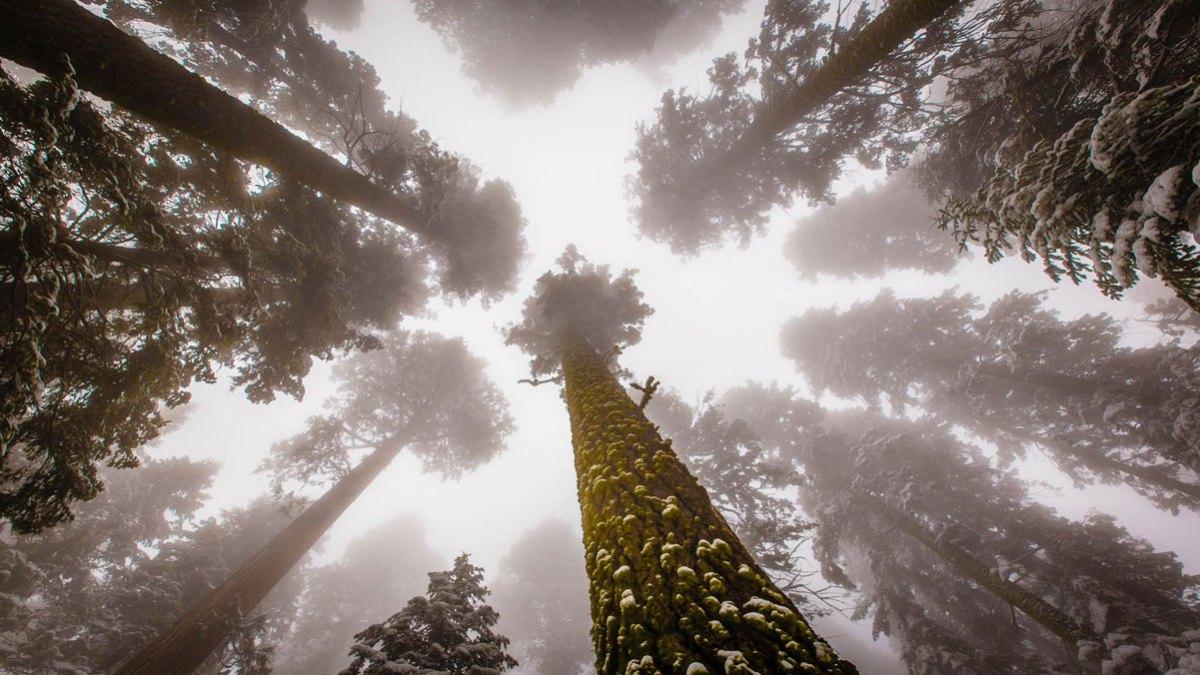 Más de 100 metros de largo hacen de él el gigante del bosque