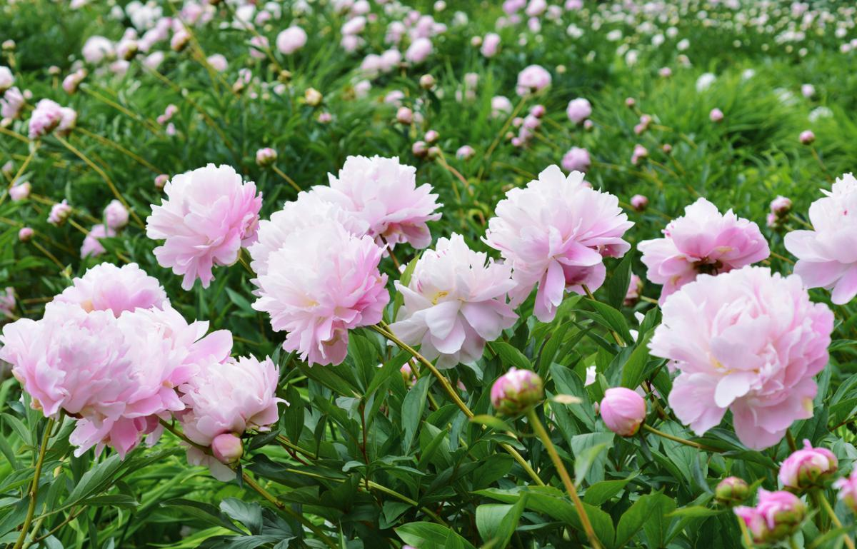 Cómo plantar peonías: Cuidados básicos de las peonías