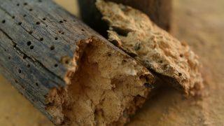 La carcoma o escarabajo de la madera hace pequeños orificios visibles