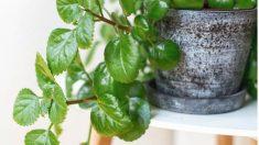 La planta del dinero es ideal para iniciarse en la jardinería.