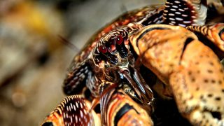 Esta especie de crustáceo es de las más grandes del planeta.