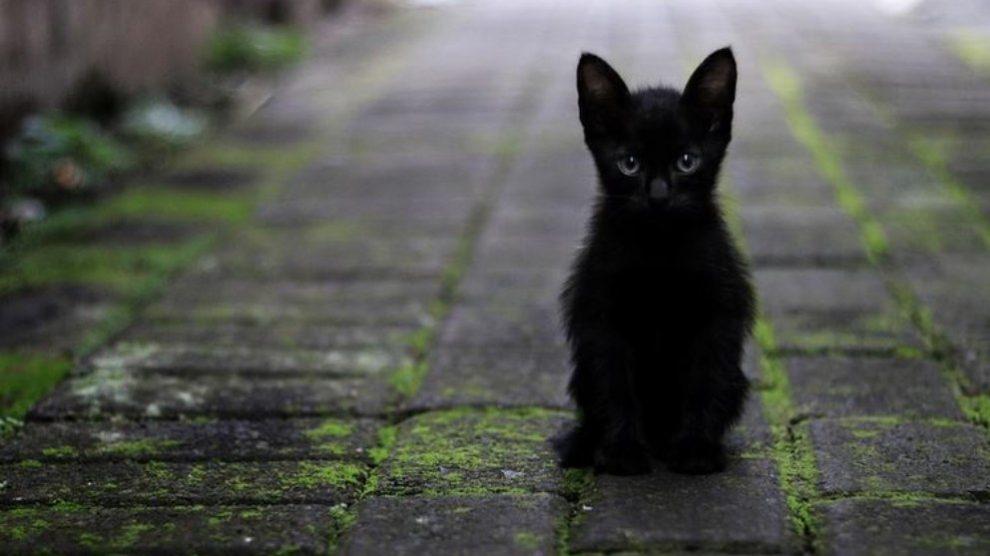 Los primeros datos que tenemos de que los gatos negros traen mala suerte aparecieron en el siglo XIV.