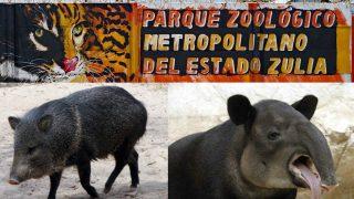 Un precarí (izqda) y un tapir (dcha)  han sido los animales robados del Zoologico metropolitano del estado de Zulia, en Venezuela.