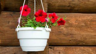 Las petunias prefieren temperaturas templadas y cálidas.