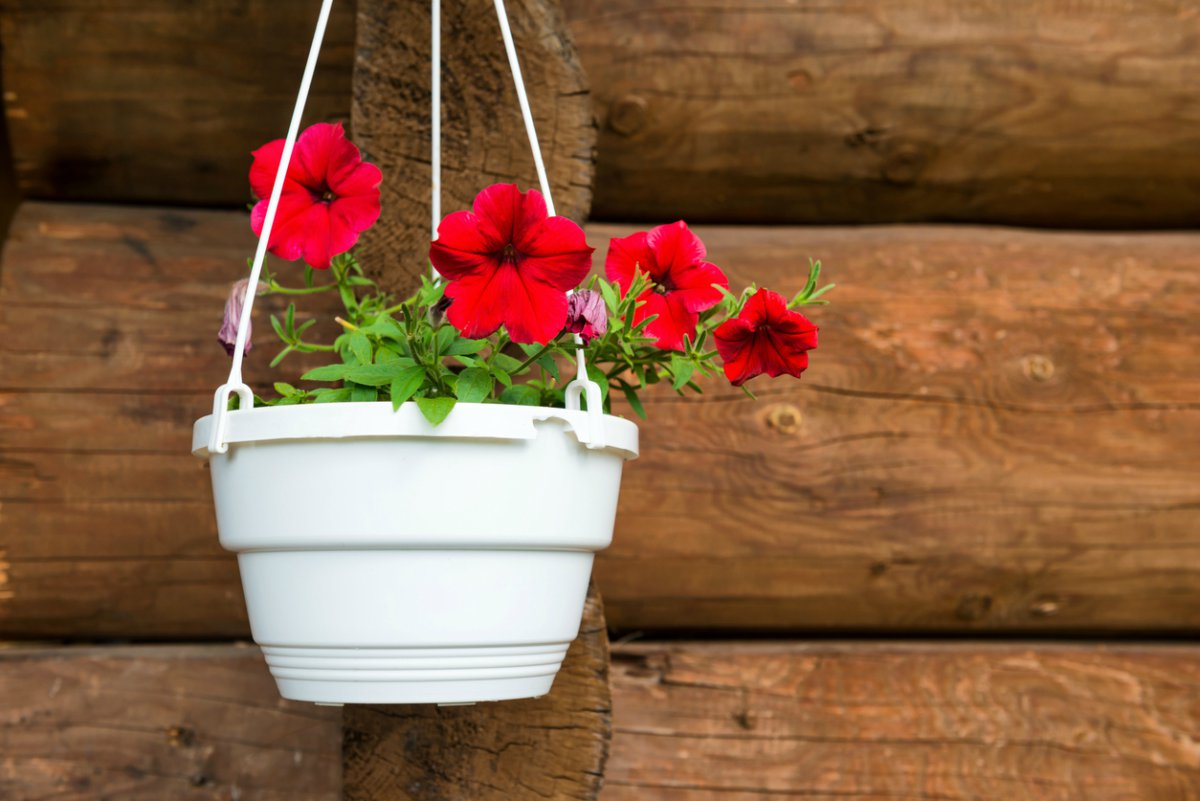 Trucos para cuidar las petunias en 6 pasos