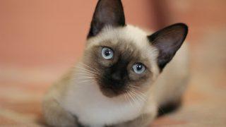 Al gato siamés le llaman 'El Príncipe' de los gatos.