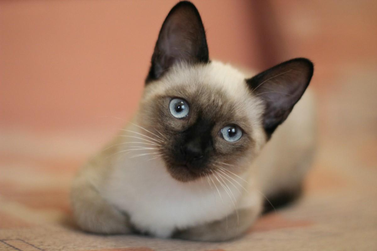 Trucos para cuidar a un gato siamés de manera correcta