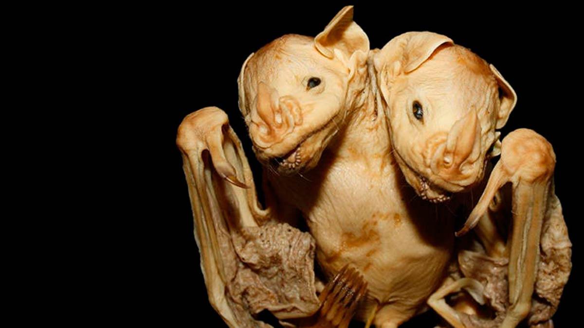 El extraño caso del murciélago de dos cabezas (2)