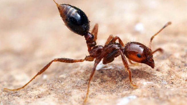 Estas hormigas venenosas pueden acabar con tu vida