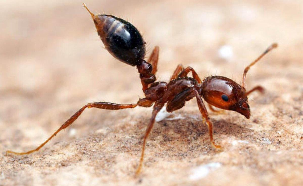 El pequeño tamaño de esta hormiga engaña a aquellos que le atacan.