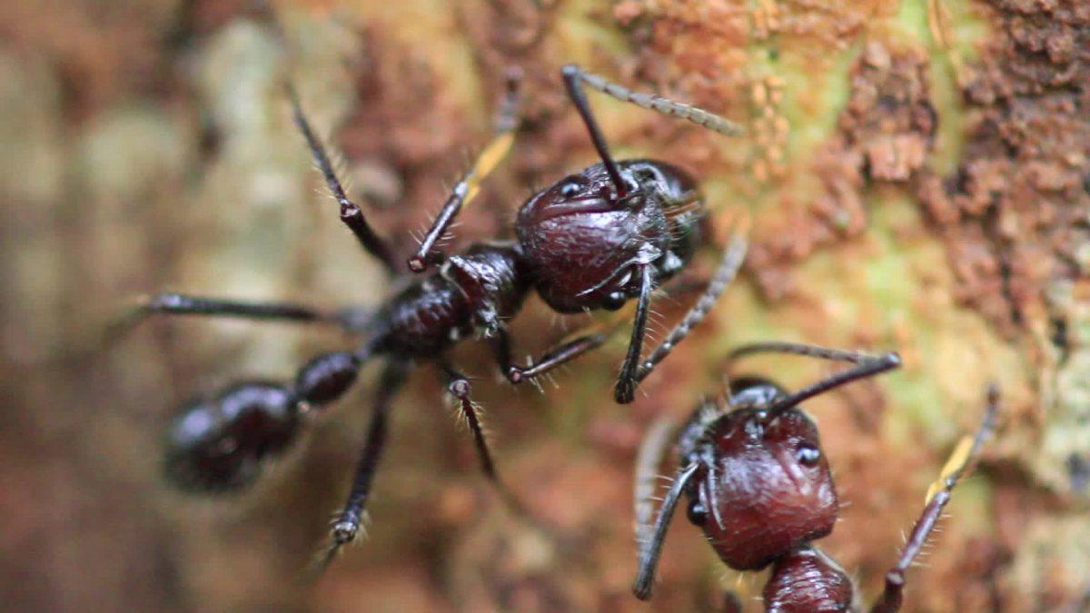 Hormigas venenosas.