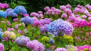 Las hortensias prefieren temperaturas suaves y suelos húmedos.